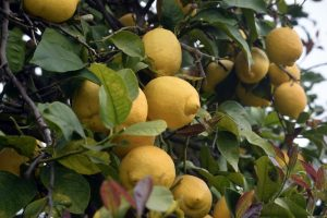 Sicilian lemon grove